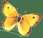 Vlinder hoogsensitief transformatie verandering